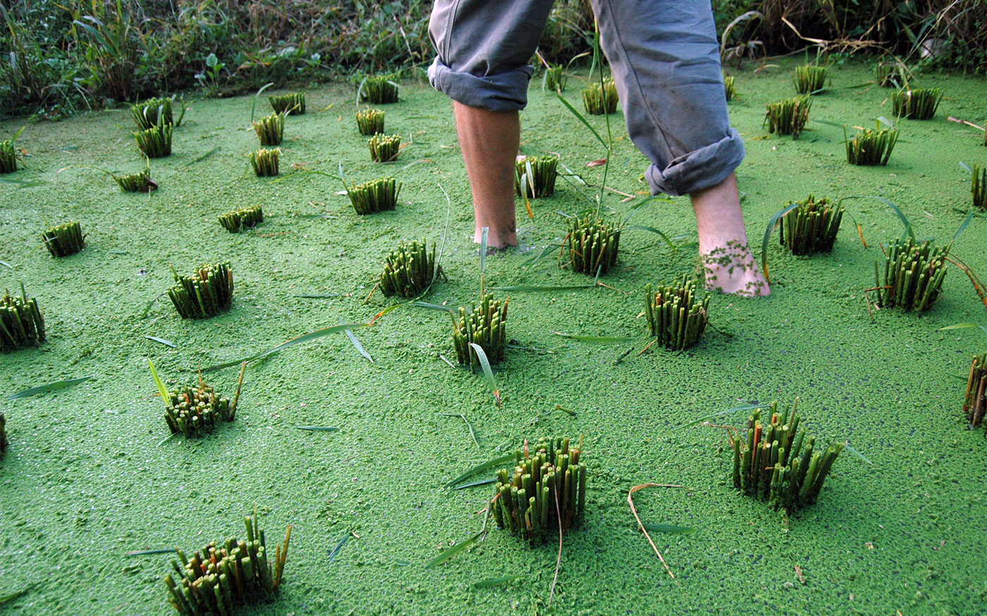 Rice Paddy With Azolla